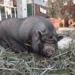 """Schwein """"Salsiccia"""" Pieve a Salti"""